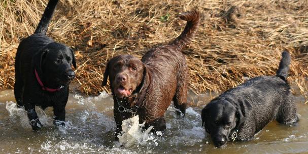 Casaguri Labradors