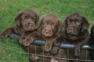 Sherry Dec Pups 6 Weeks 062